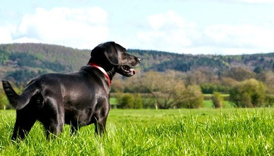 Labrador in Green Grass