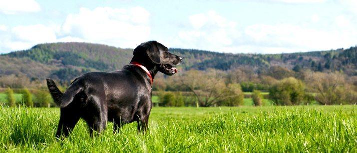 Labrador in Green Grass