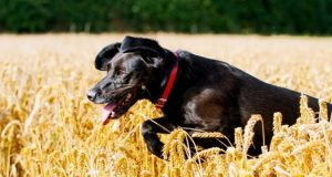 labrador in wheatfield