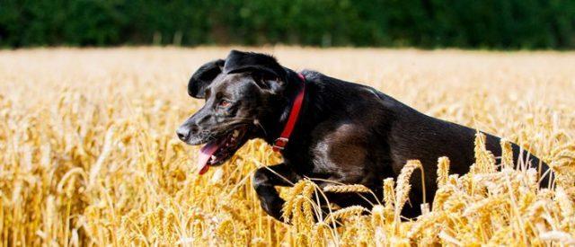 labrador in wheatfield