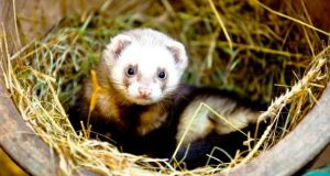 ferret in a log