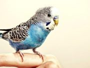 Budgie on owners finger