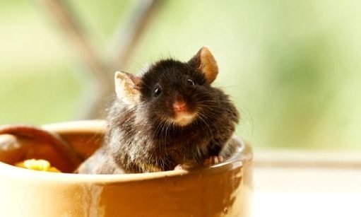 mouse in bowl