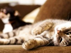 cat lying on couch