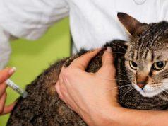 cat vaccinated