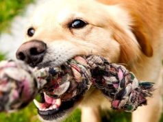 dog tug o war