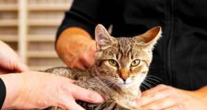 cat at the vet