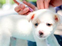 puppy getting vaccine