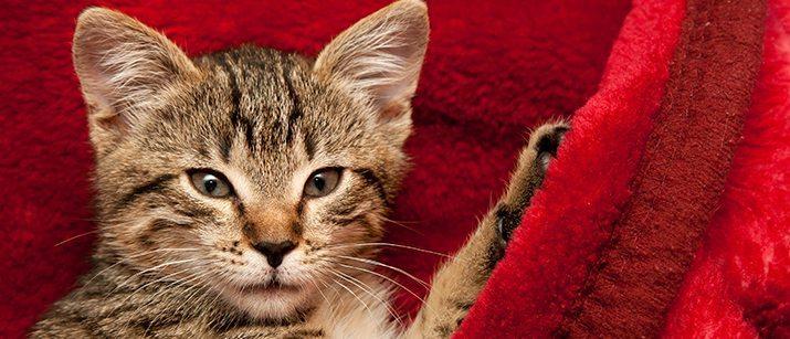 cat fanciers show