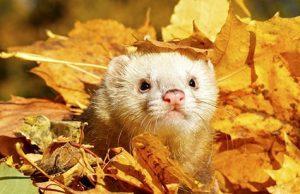 ferret in leaves