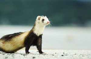 Ferret on Beach