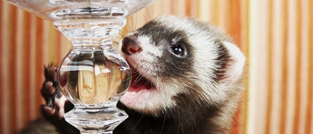 ferret biting glass