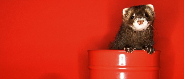 9 Things You Should Avoid Feeding Your Ferret Vetbabble
