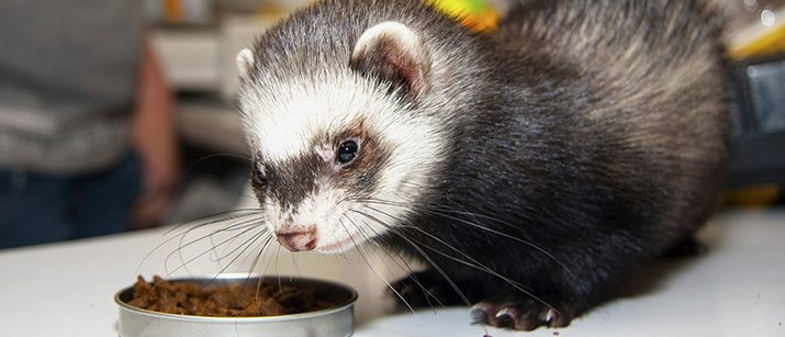 Can Ferrets Eat Dog Food Vet