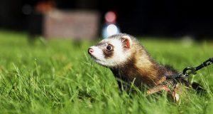 ferret on grass