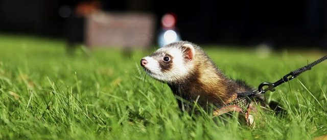 ferret on grass