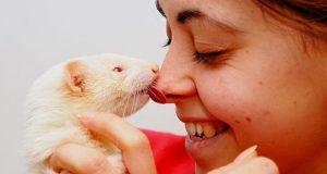 ferret kiss