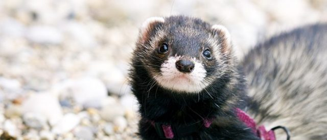 Female black ferret