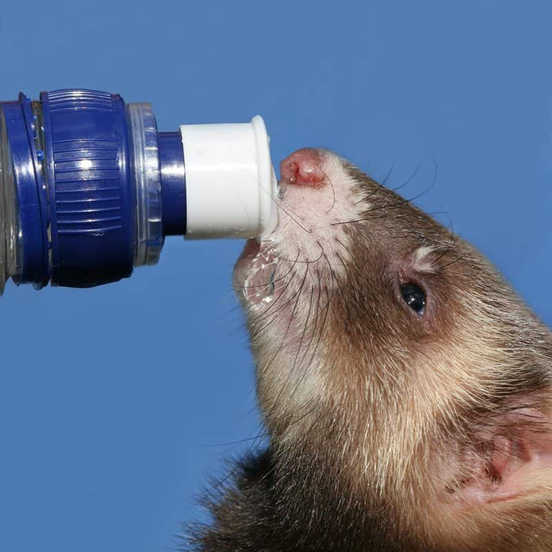 Ferret drinking water