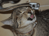 cat drinking from tap