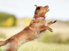 dog jumping in grass