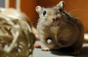 gerbil with a ball
