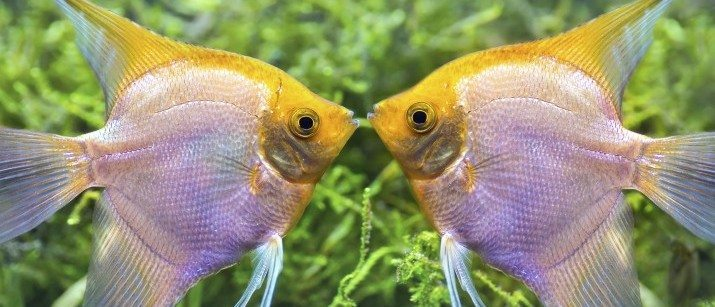 Tropical fish care caring for tropical fish vetbabble for Easiest fish to care for