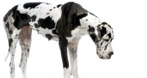 great dane and puppy