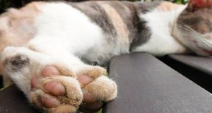 cat paws up close