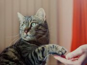 Cat shaking hands with a person