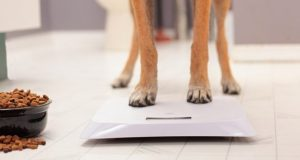 Dog in front of a scale