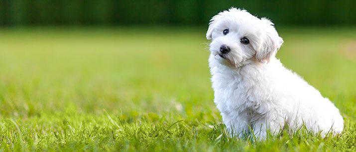 what to know before you get a bichon frise puppy vetbabble