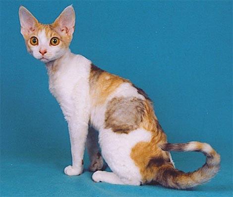 cat-breed_devon-rex