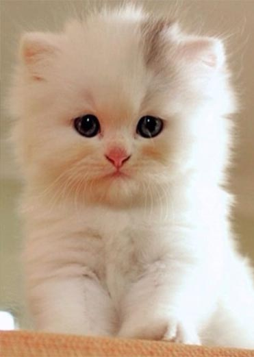 cat-breed_teacup-cat-persian