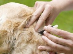 Tick being removed from a dog