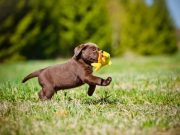Puppy with a toy running