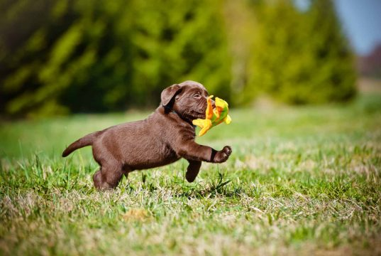 Puppy running outside with a toy