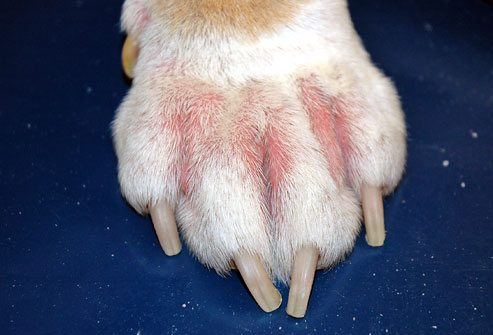 Dog's paw with skin infection
