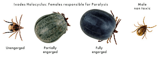 The paralysis tick varies in body colour, so this is not a great way to identify it.