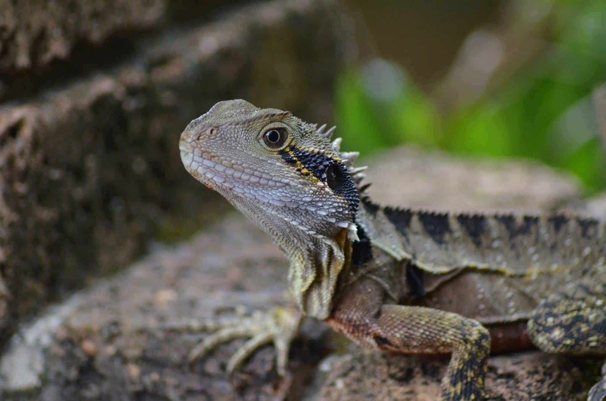 bearded lizard pictures - HD 2048×1356