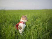 Cat in harness in grass