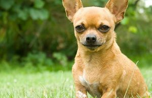 Chihuahua in a park