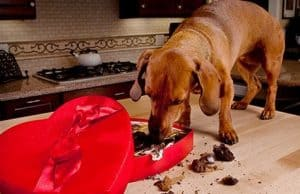 Dog eating chocolate from a box
