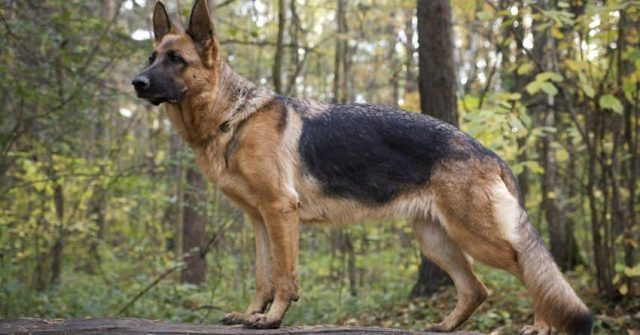 german shepherd standing on a rock