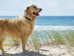 Golden Retriever on a beach