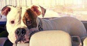 Bulldog in the back of a car