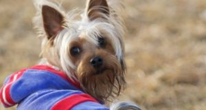 Yorkshire Terrier in a coat