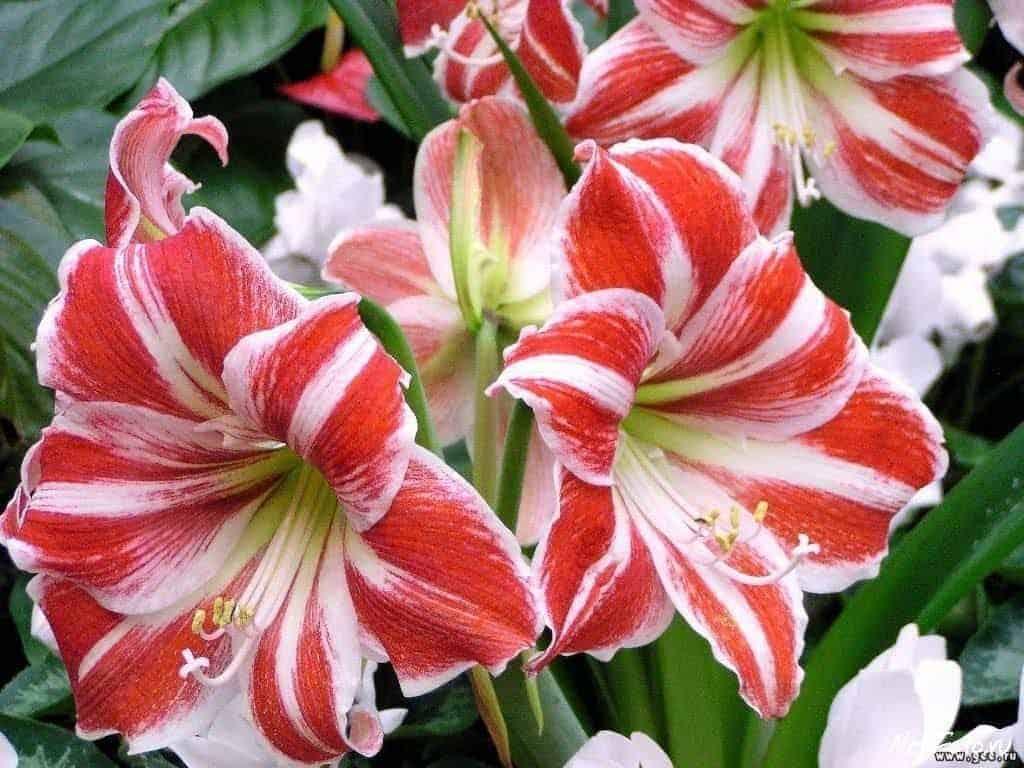 Amaryllis Flower 2