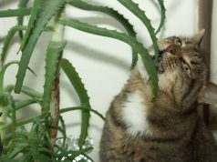 Cat eating Aloe Vera