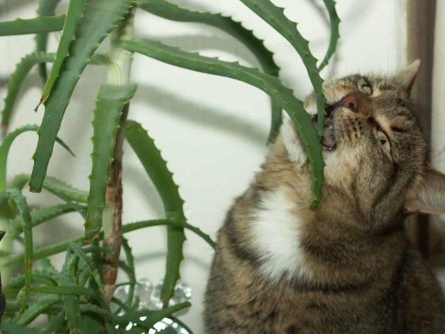 Cat eating Aloe Vera